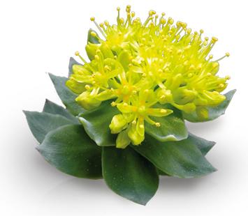rhodiola-rosea-planta